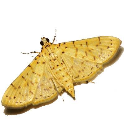 Són útils les feromones sexuals d'insectes pel control de plagues?